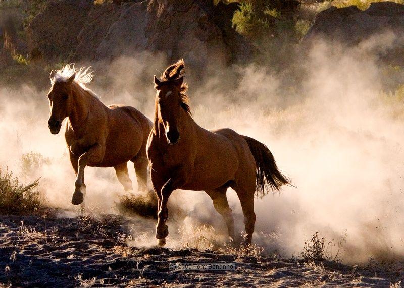 как ковбои ловят мустангов