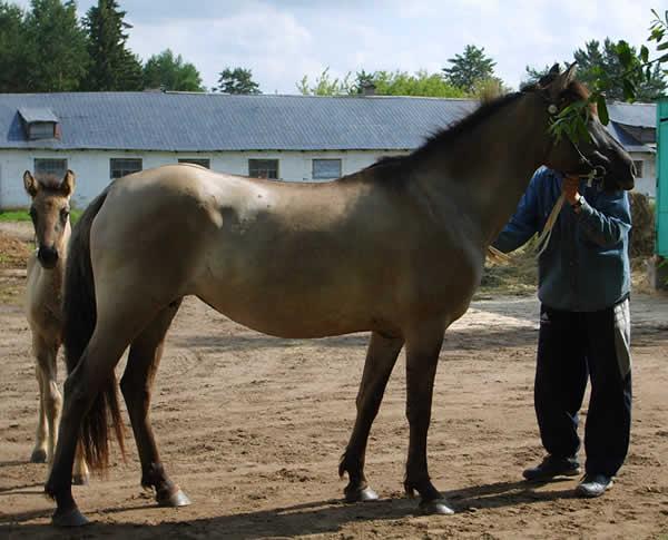 http://westernhorse.ru/images/porody/Vyatka/barina.jpg
