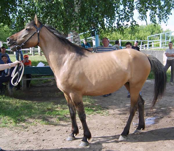 http://westernhorse.ru/images/porody/Vyatka/lebedka.jpg